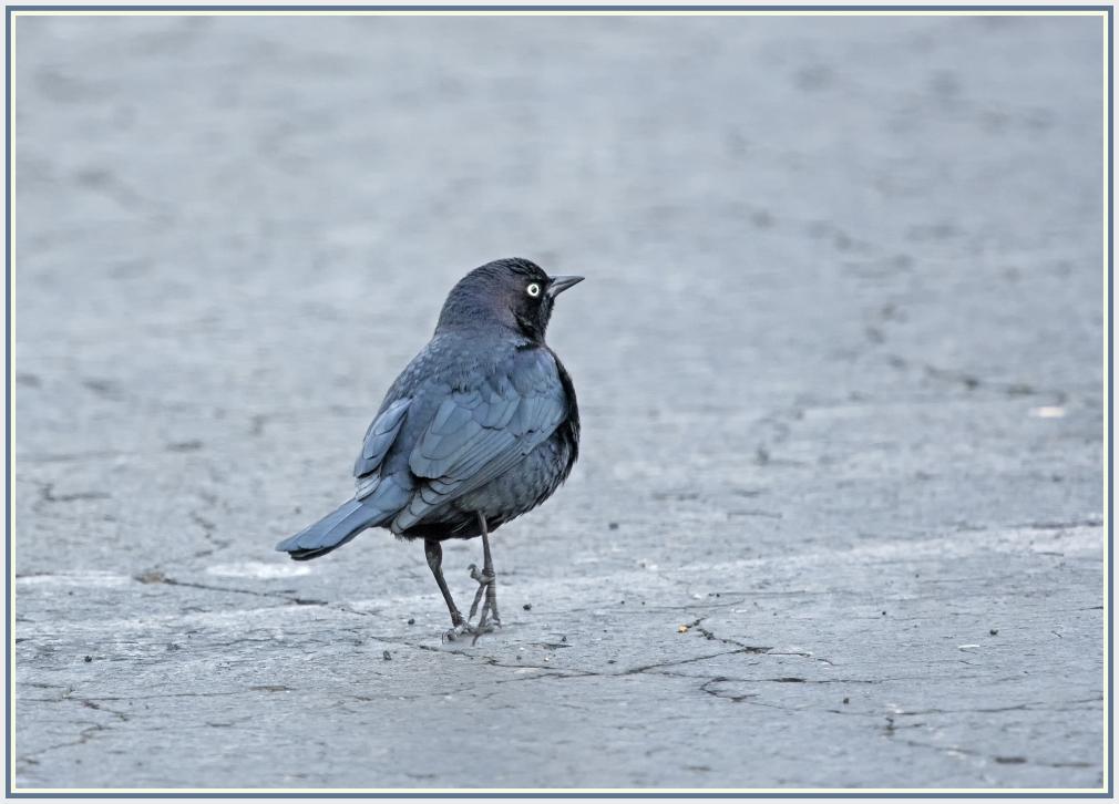 Brewer's black bird in Reno