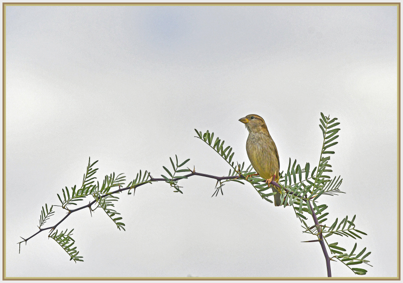 American gold finch   Death Valley