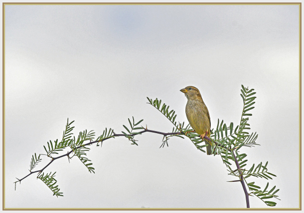 American gold finch - Death Valley