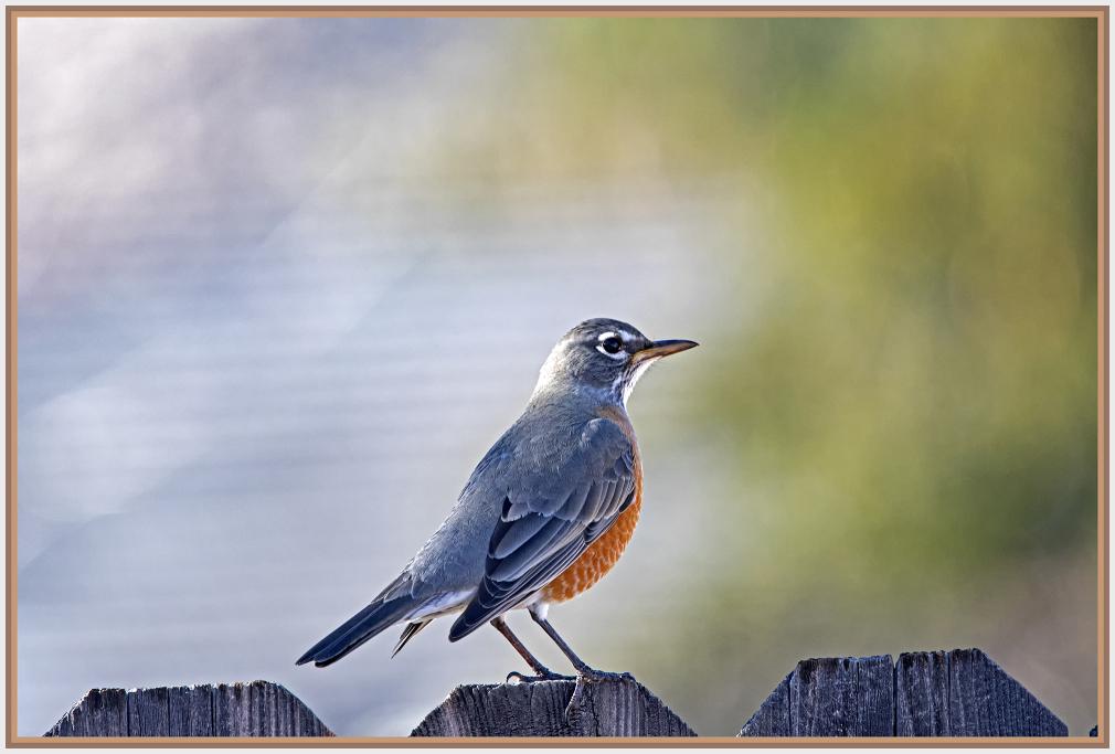American Robin in Reno