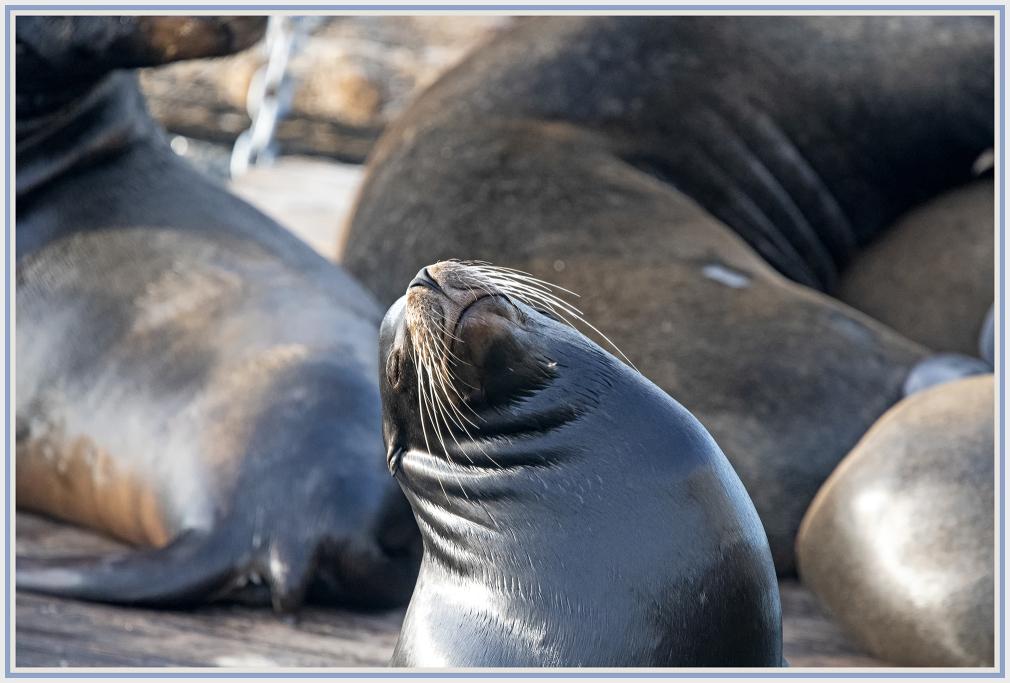 Sleepy sea lion in San Francisco