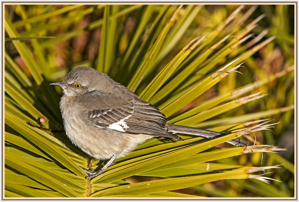 blue-gray gnatcatcher - in Las Vagas