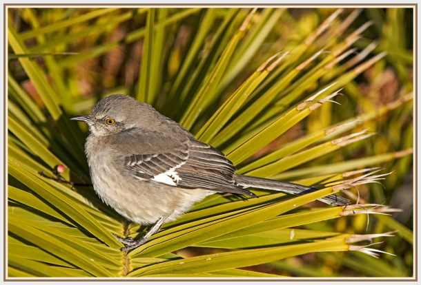 blue gray gnatcatcher   in Las Vagas