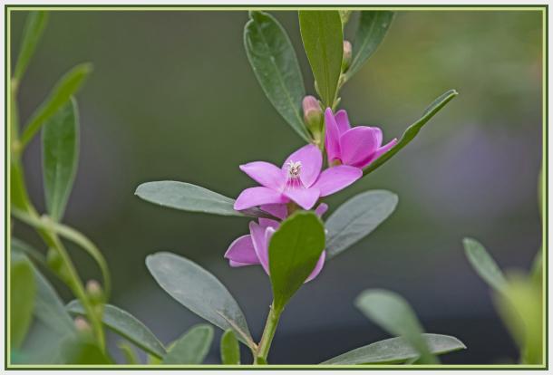 Pink flower - Crosea Saligna - Sydney