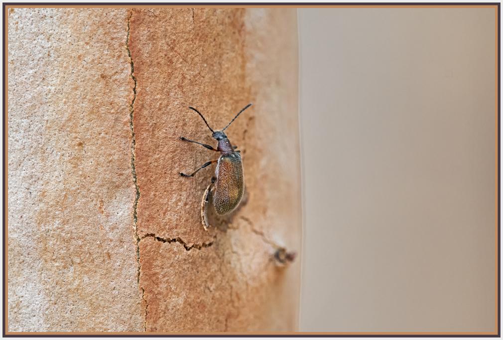 phyllotocus - nectar scarab - Sydney