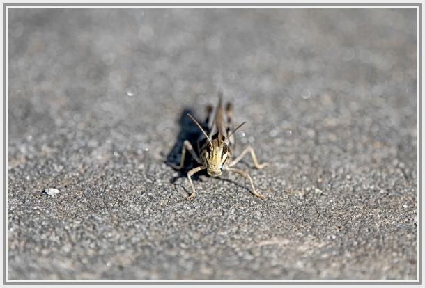 Grasshopper   sydney