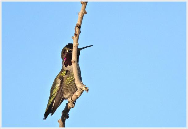 Humming bird in Las Vagas