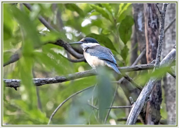 Kingfisher   Sydney