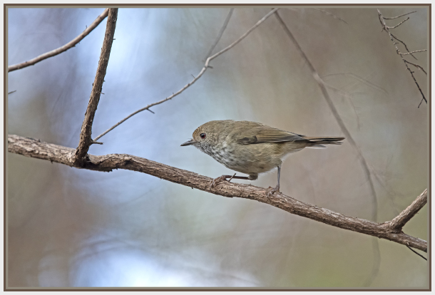buff-rumped thornbill - Sydney