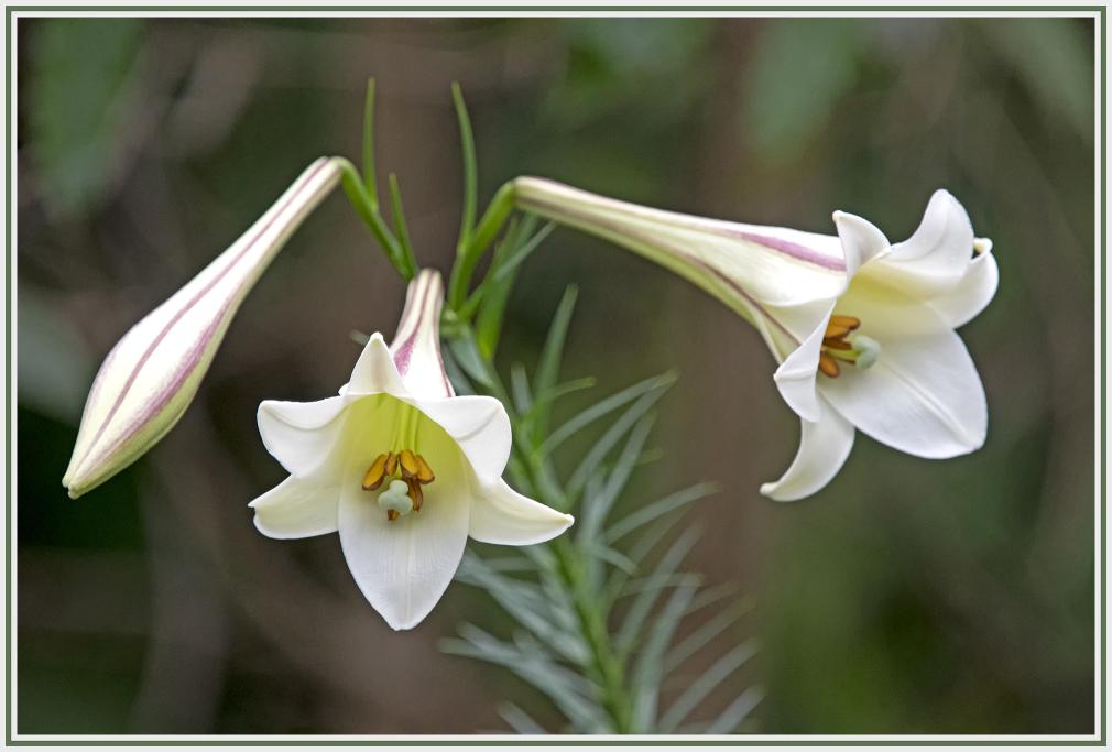 lilium formosanum - formosan lily