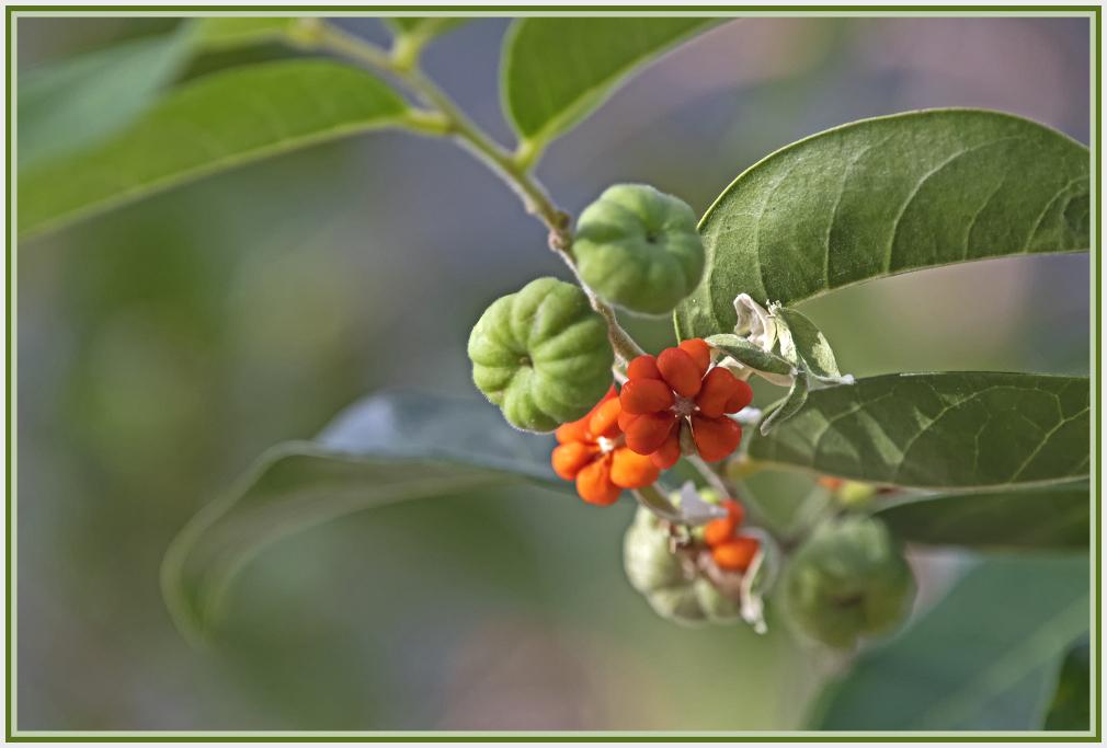 Glochidion ferdinandi - cheese tree