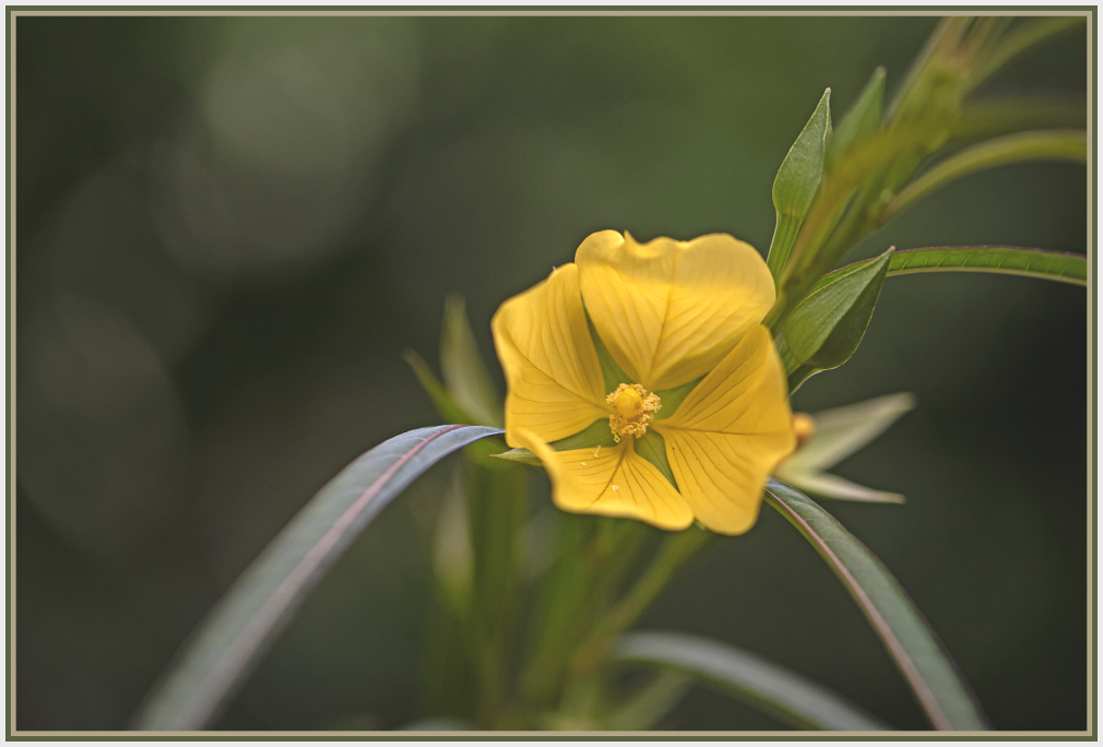 Yellow flower - ludwigia longifolia