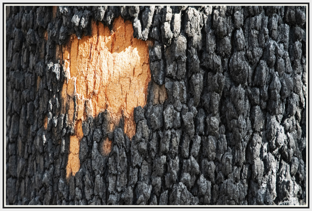 Tree after back burning