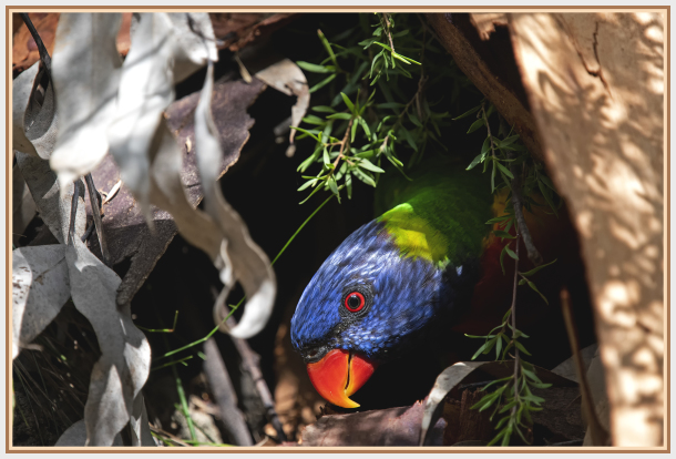 Rainbow Lorikeet in a tree hole