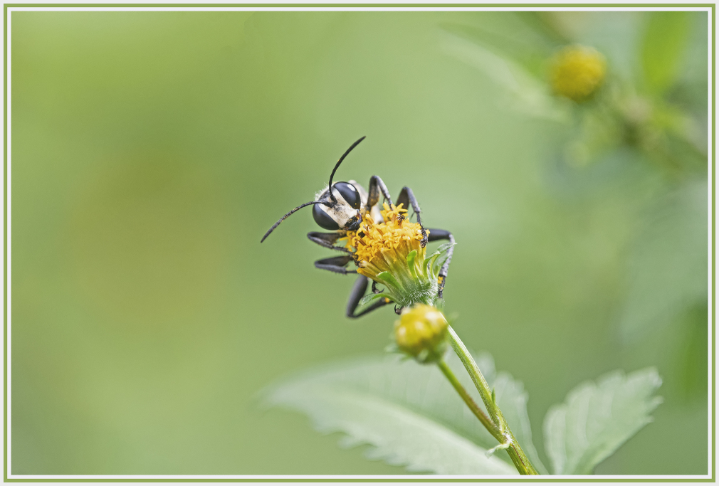 wasp holing on to yellow wild flower