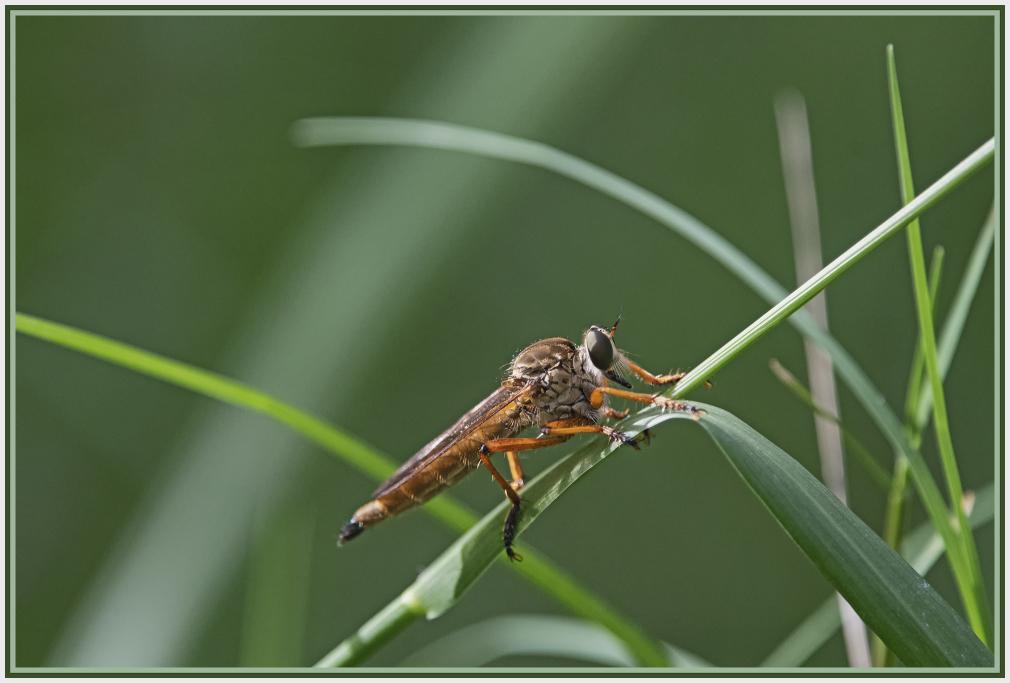 butcherfly