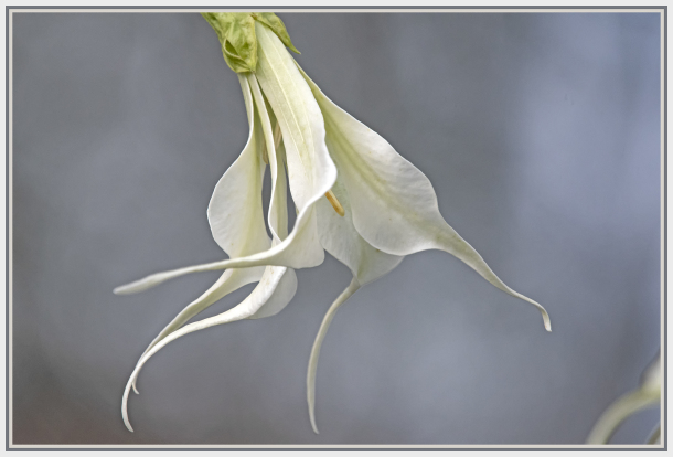 white angel trumpet flower