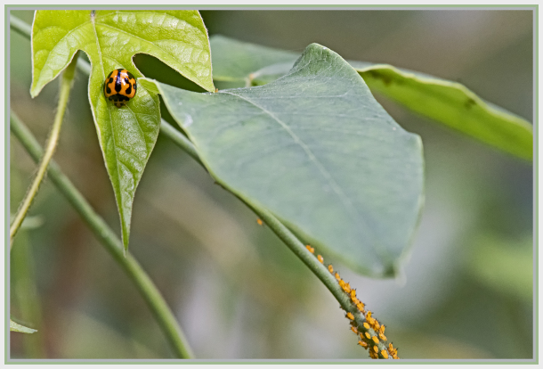 Lady bug and aphids