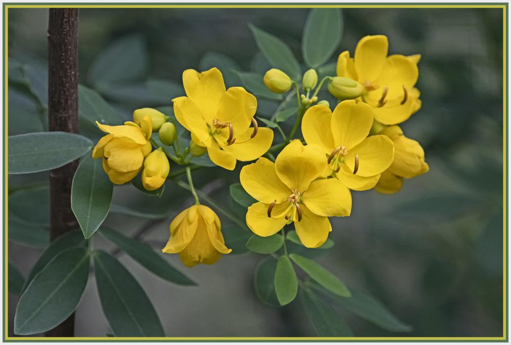 Easter cassia - Senna pendula