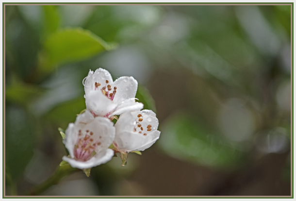White flower in the rain