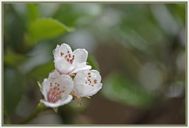 White flower in the rain