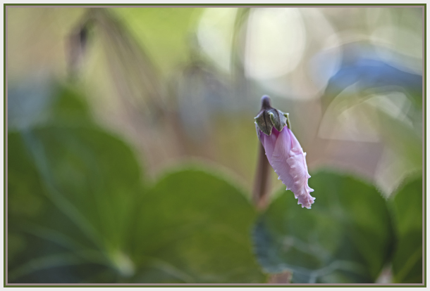 new bud of pink cyclamen