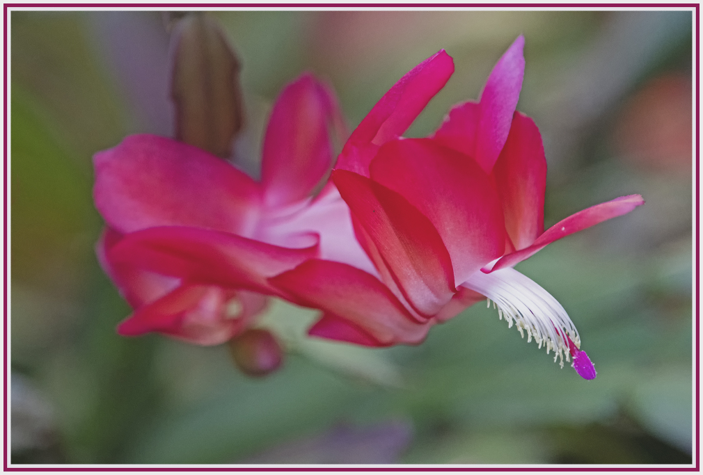 Easter cactus - red succulent flower