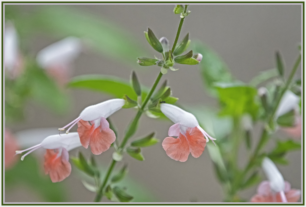 Small pink and white flower