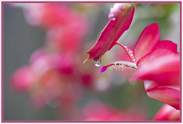 water drop and easter cactus - red succulent flowe