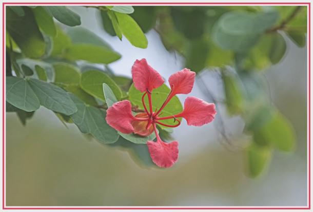 Bauhinia galpinii   Orchid Tree   Red Bauhinia