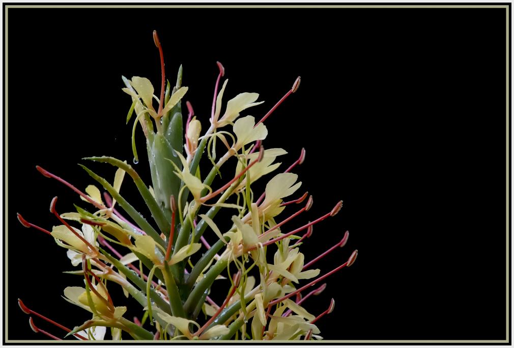 Orange bottlebrush ginger - Hedychium coccineum