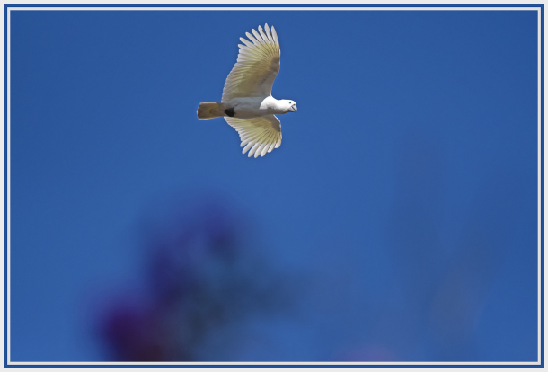 Cockatoo in blue sky