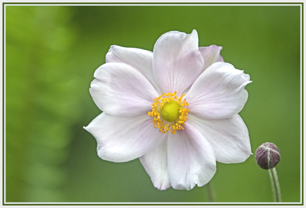 light pink anemone flower