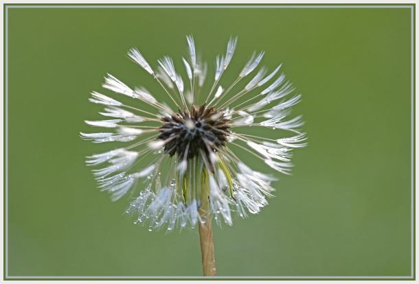 dandelion in the rain