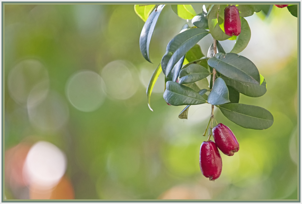 lilly pilly fruit