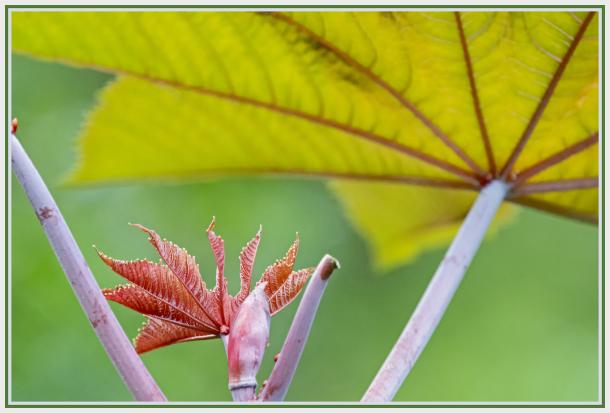 new leaf - ricinus communis