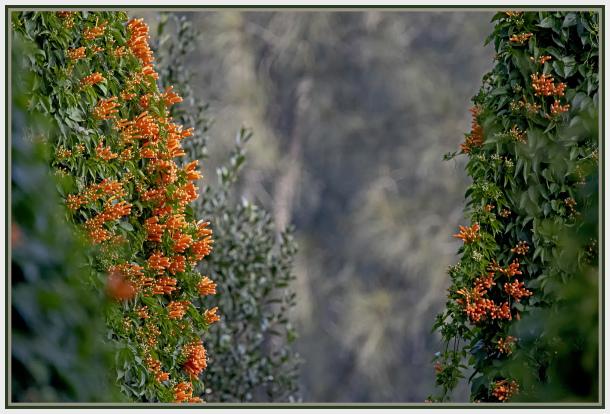 walls of Firecracker Flower