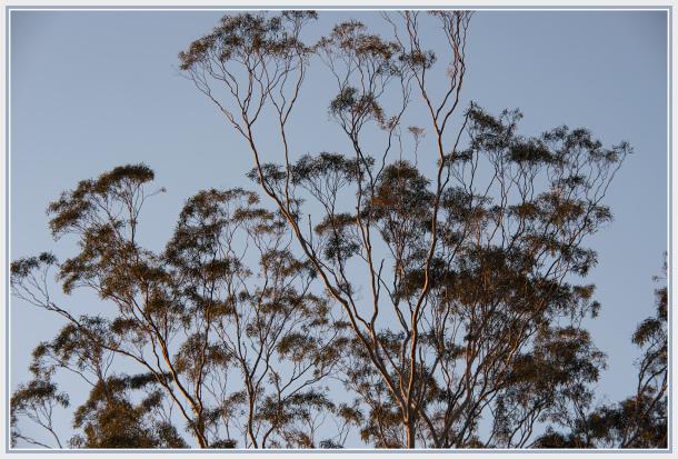 Gum tree at sunset