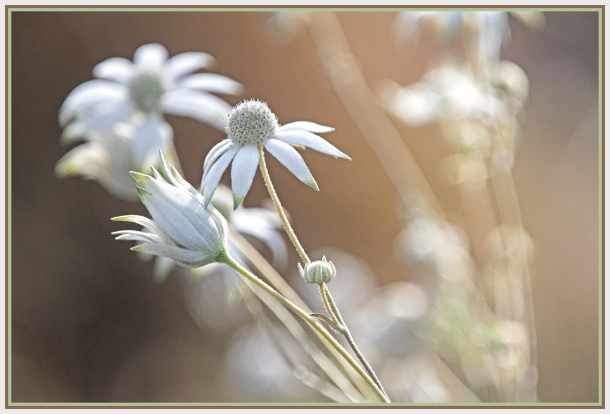 white flannel flower   Actinotus helianthi   Aust