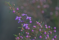 pink boronia flower - Australian native
