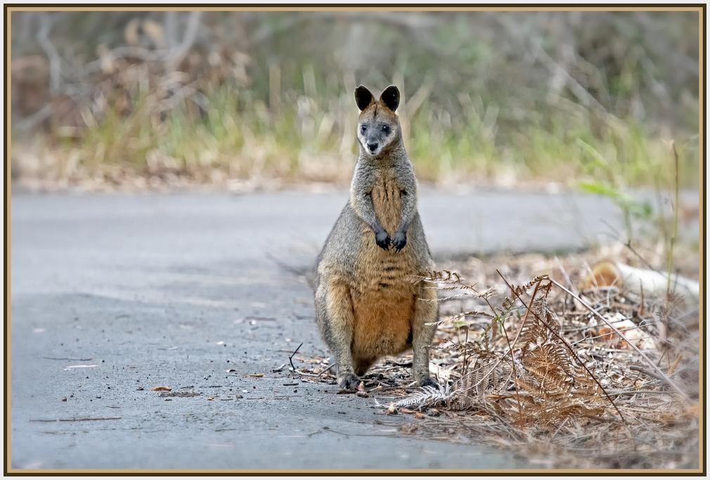 kangaroo - red necked wallaby