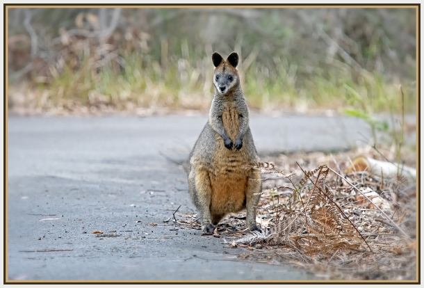 kangaroo   red necked wallaby