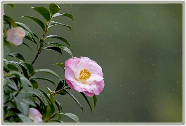 Pink camellia flower in the rain