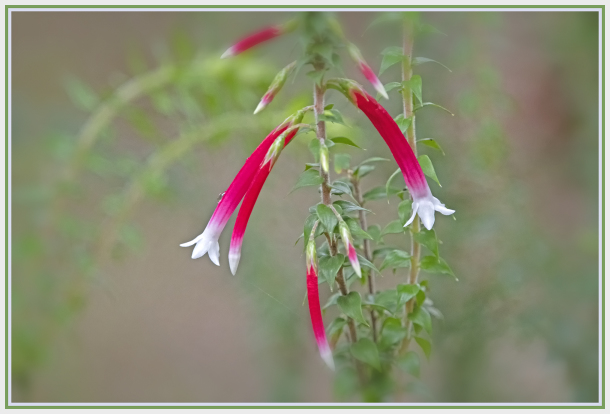 red and white flower - Epacris longflora