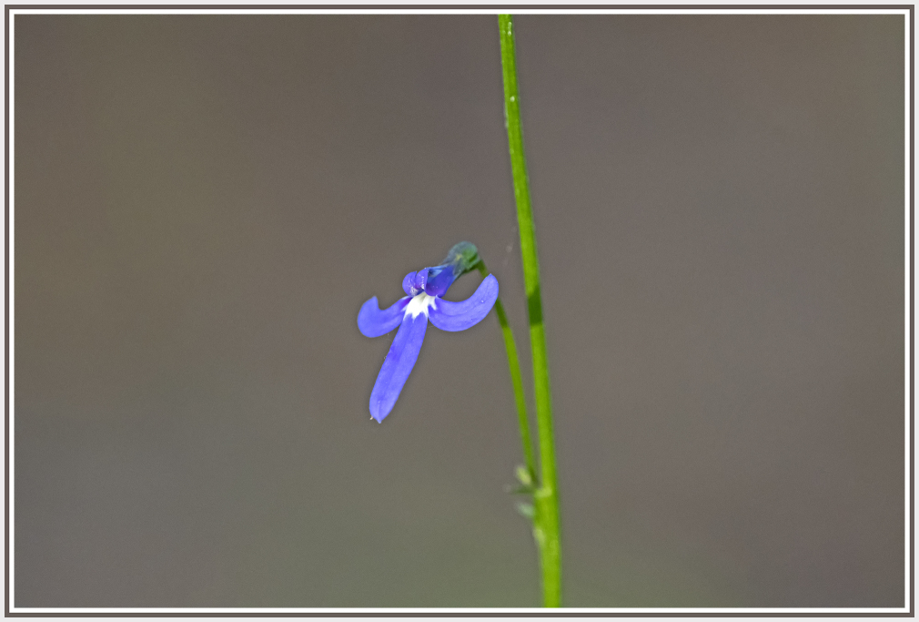 small violet wild orchid