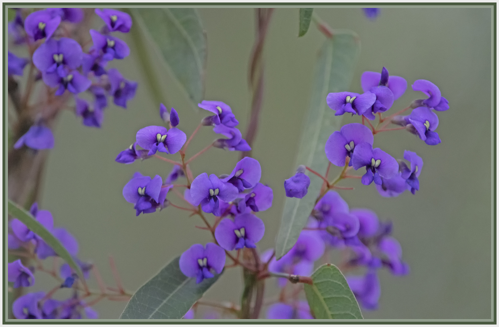 fabaceae - purple mirbelia