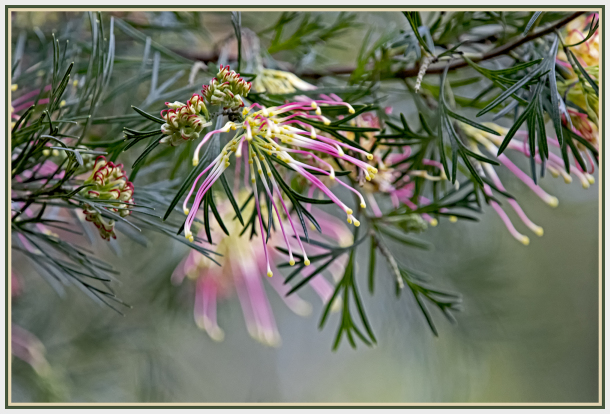 colourful Grevillea