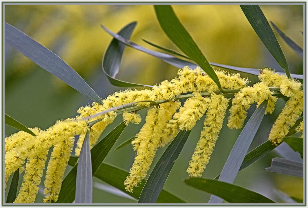 acacia oxycedrus -spike wattle - mimosaceae