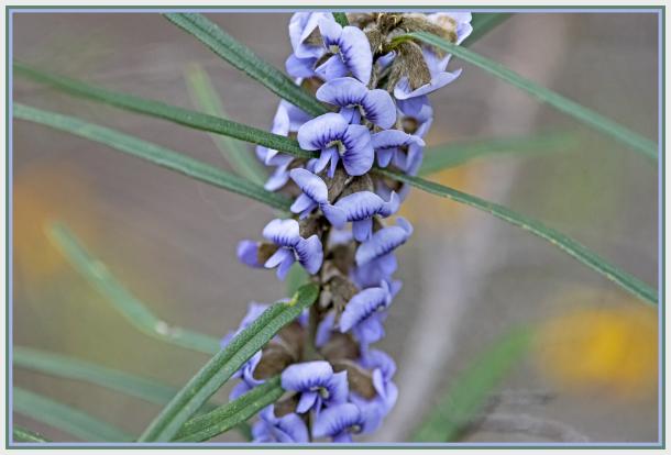 Hovea linearis (Fabaceae)