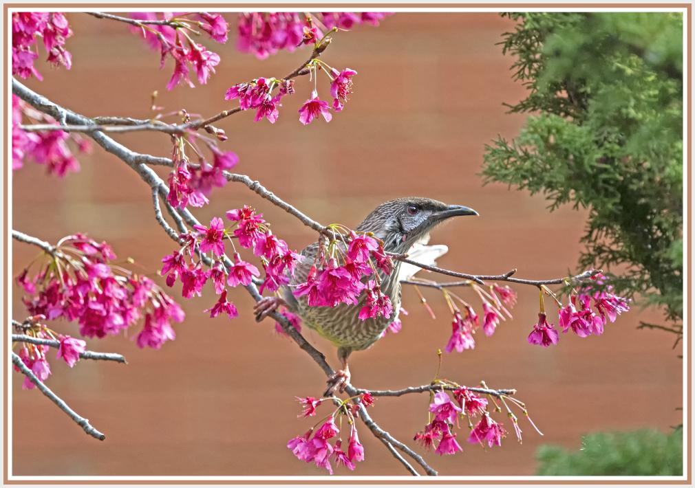 Honey eater - Red Wattle bird